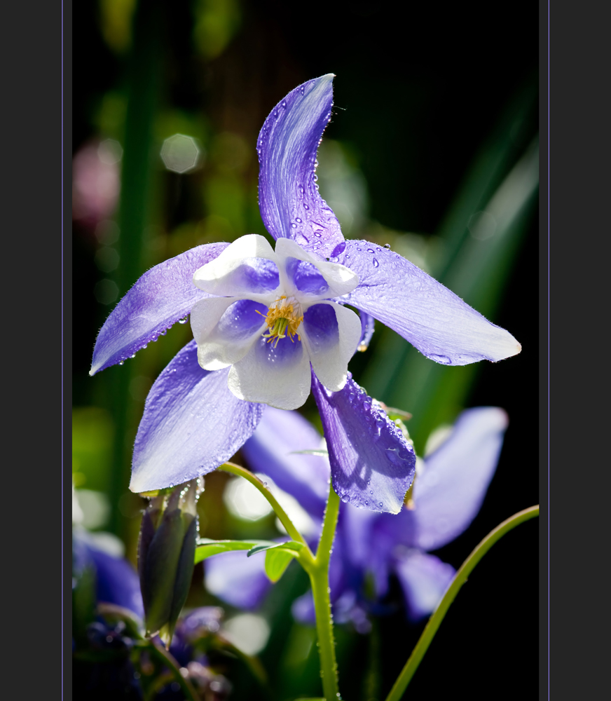blau-weiße Akelei (Aquilegia)