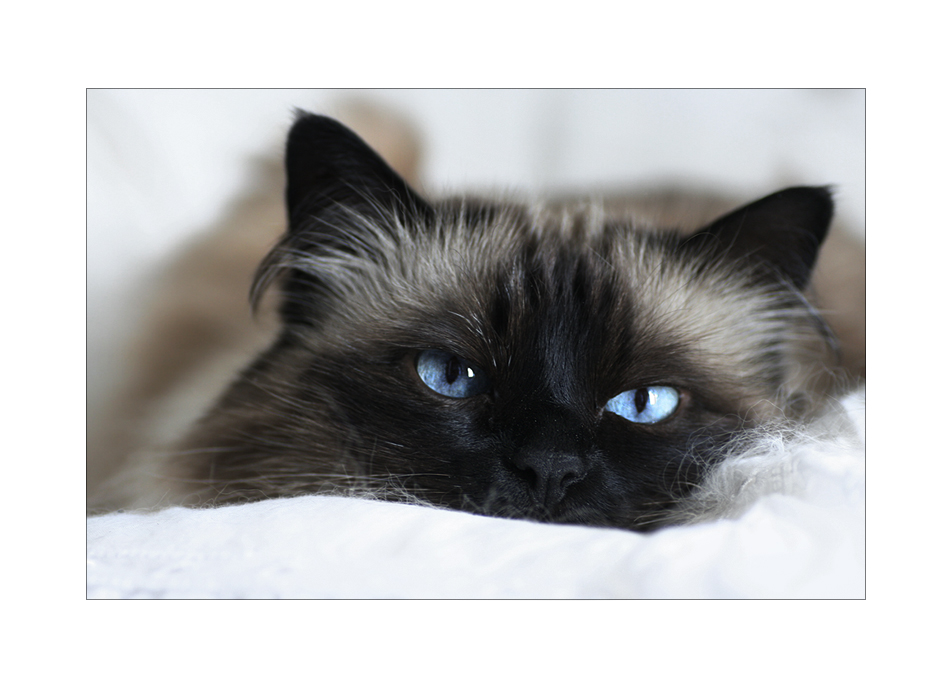 -Blauauge-