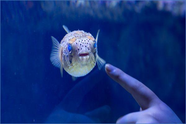 Blauaugenfisch