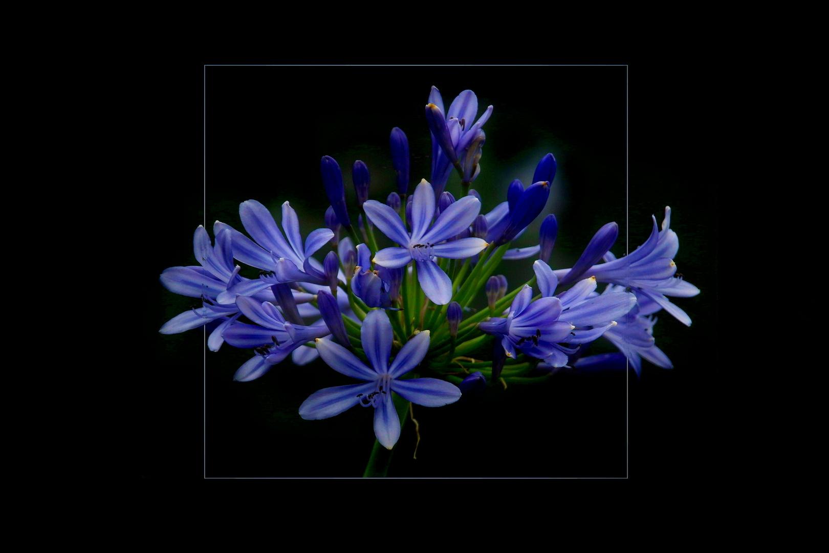 Blaublümelig