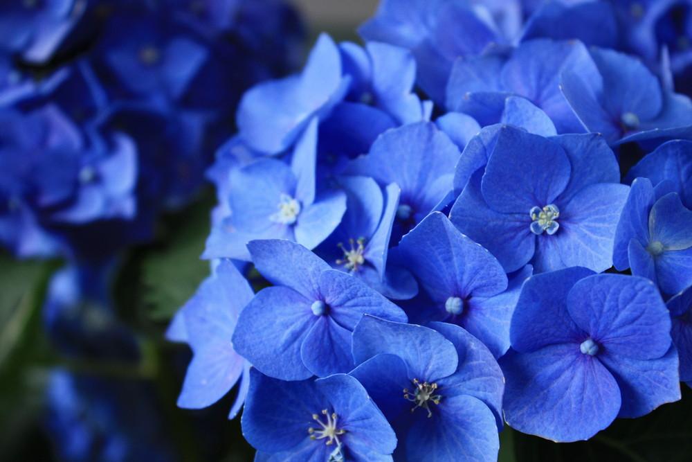 Blaublüter