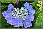 ~ blaublütige Gartenhortensie ~