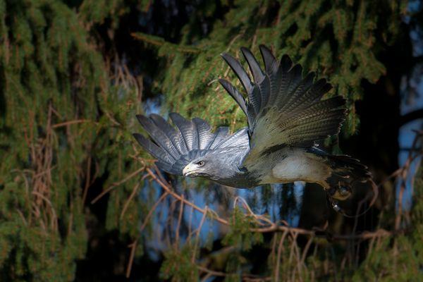 Blaubussard.. ein wunderschöner Vogel