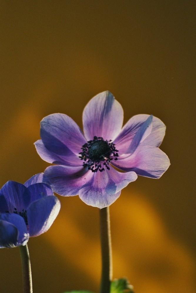 -blaue Anemone-