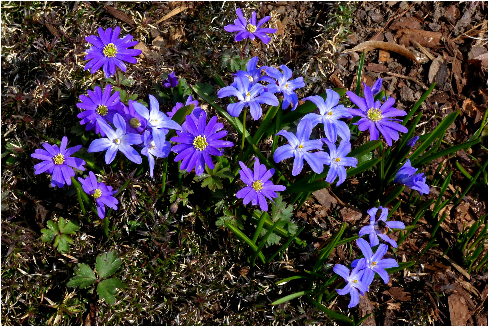 Blaue Anemonen und Sternhyazinthen