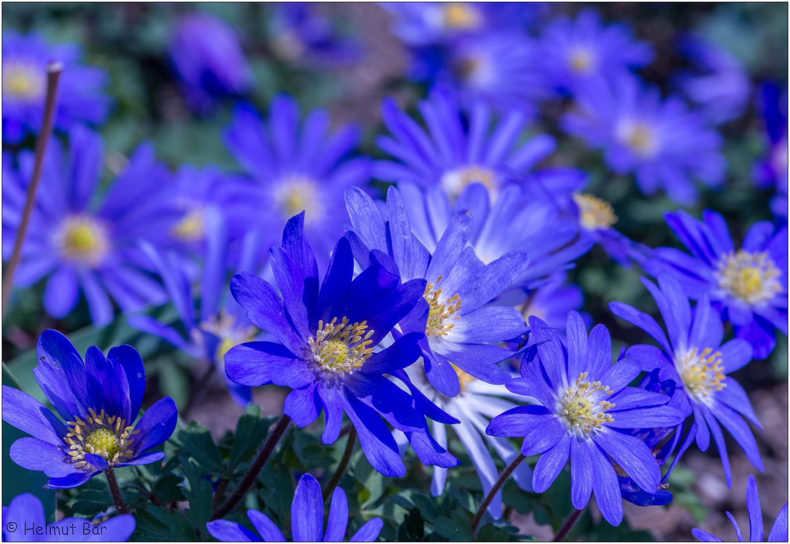 Blaue Annemonenwiese