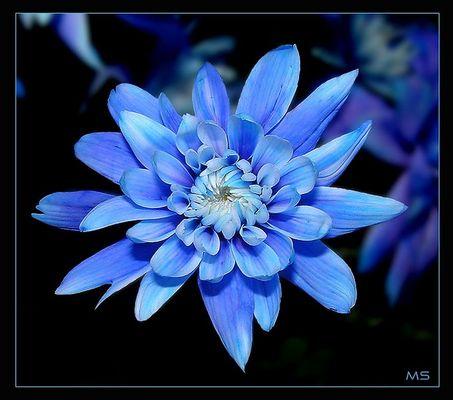 Blaue Aster