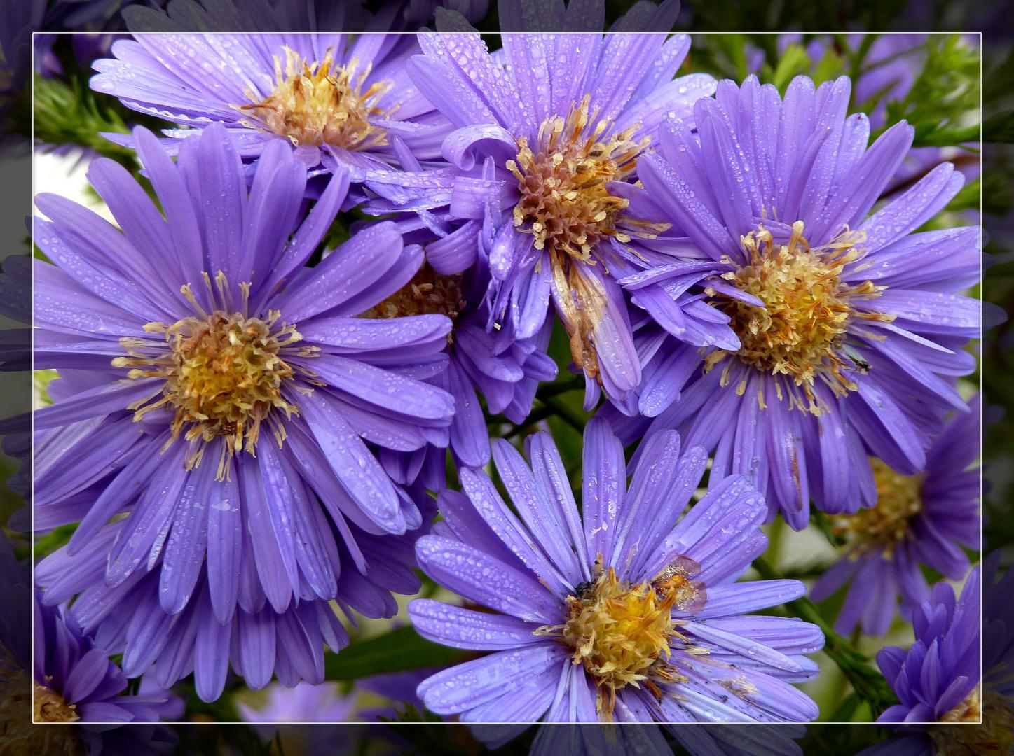#...Blaue Astern......#