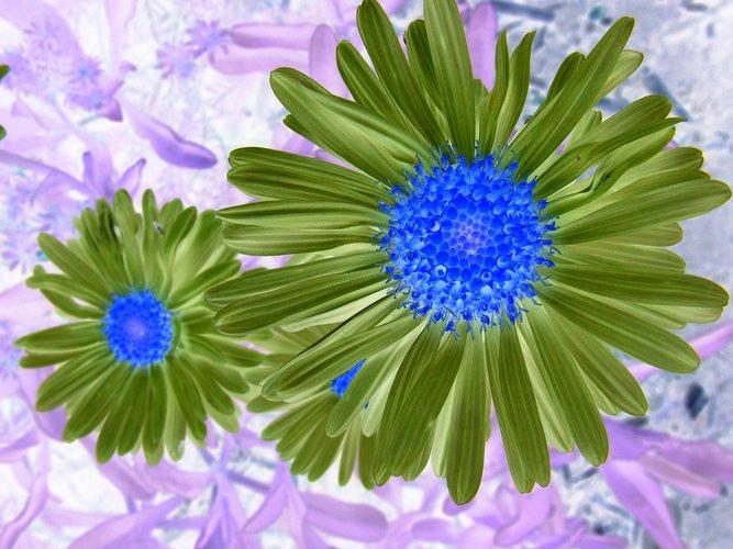 blaue Augensterne