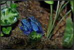 Blaue Baumsteiger