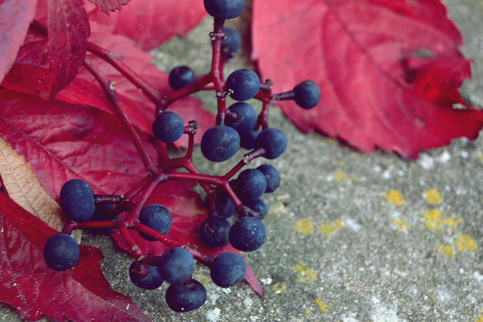 Blaue Beeren an rotem Herbstlaub