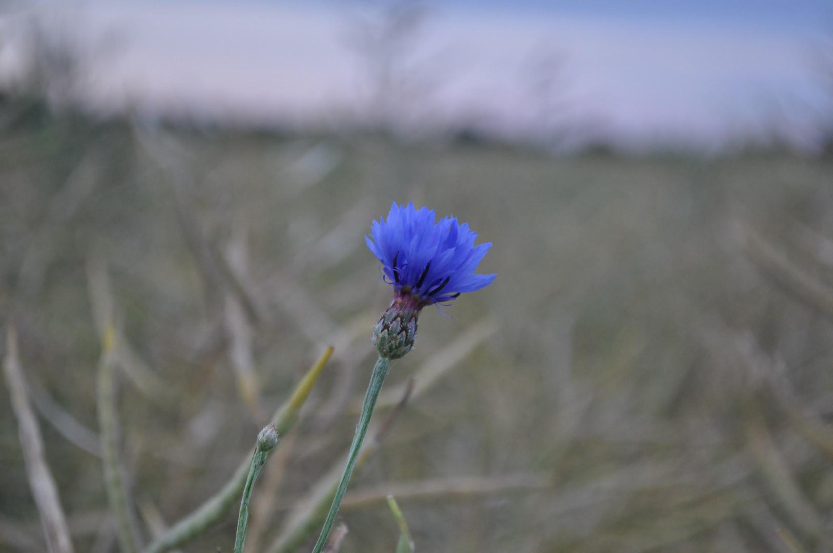 Blaue Blüte 2