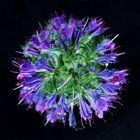 Blaue Blüte / Natternkopf