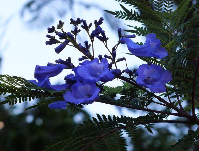 Blaue Blüte (P)