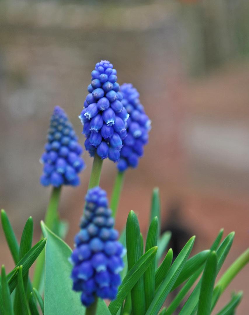 blaue bl ten foto bild pflanzen pilze flechten bl ten kleinpflanzen gartenpflanzen. Black Bedroom Furniture Sets. Home Design Ideas