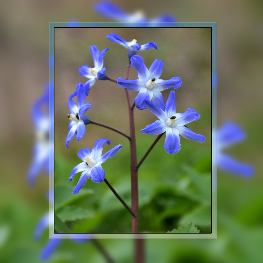blaue Blüten mit Käfern