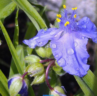 blaue blüten nach dem regen