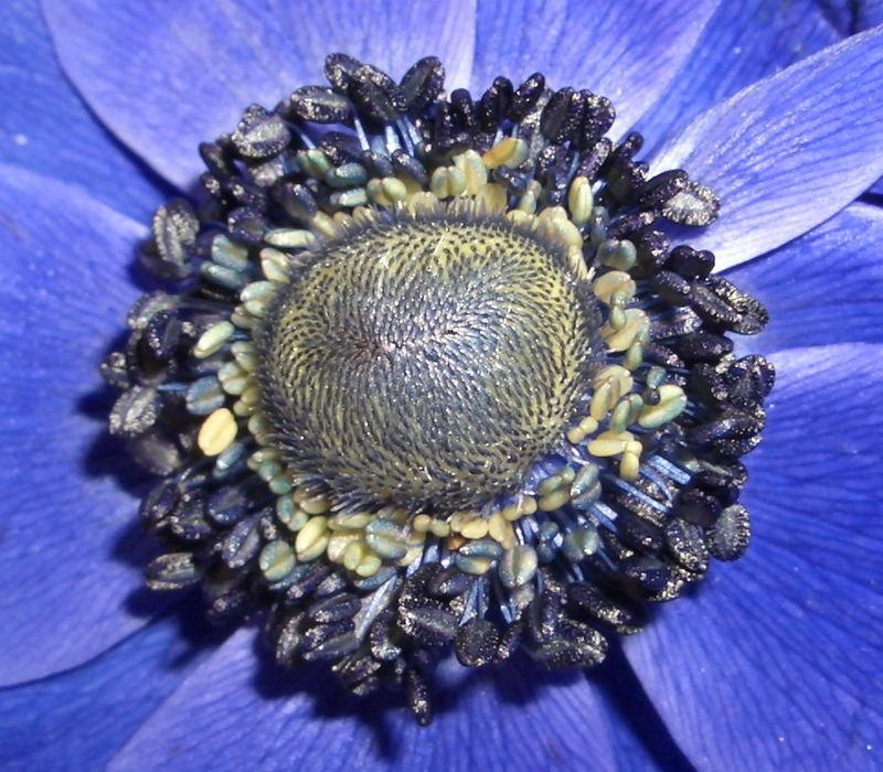 Blaue Blume 2