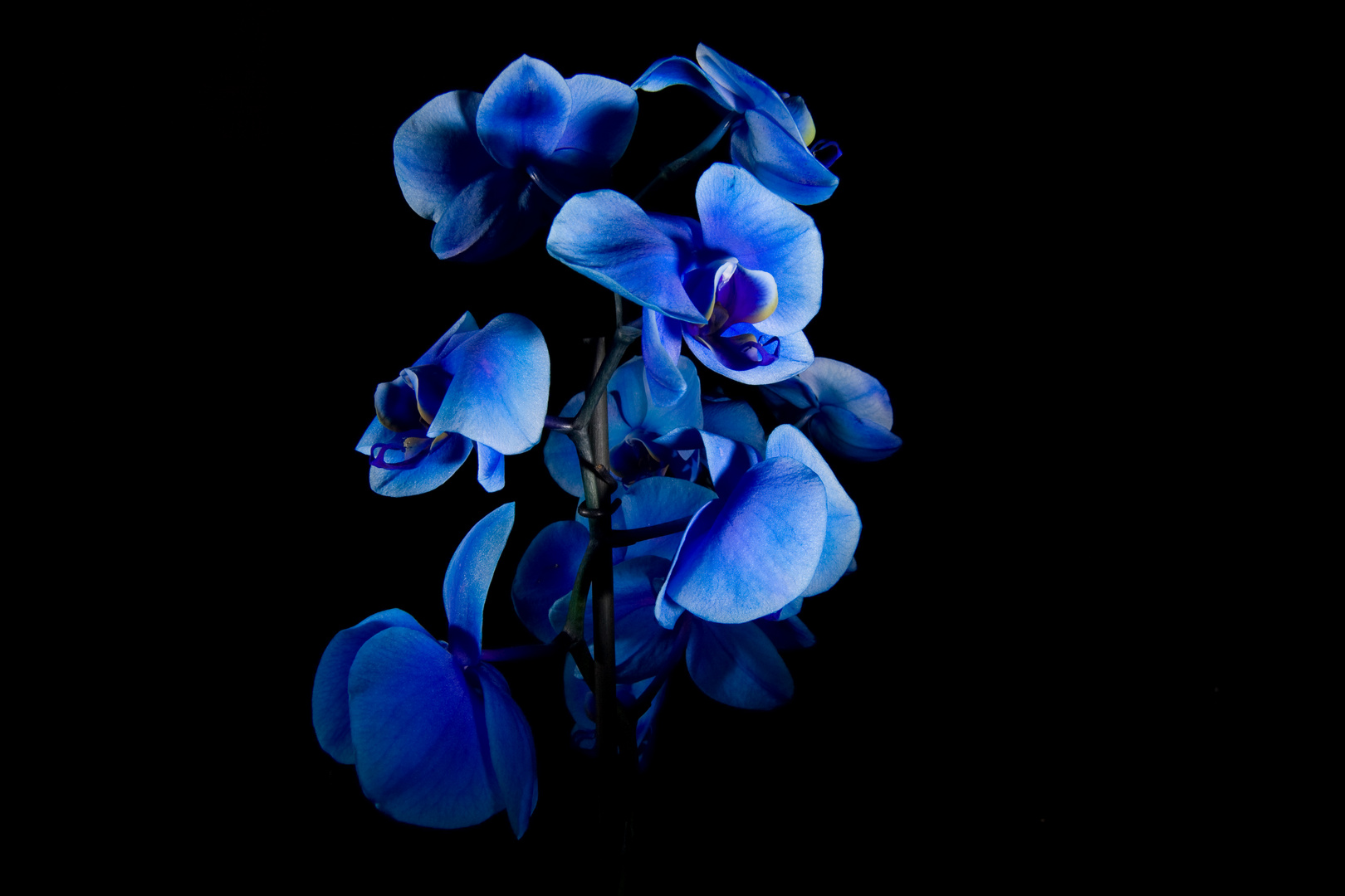 blaue blume foto bild pflanzen pilze flechten bl ten kleinpflanzen orchideen bilder. Black Bedroom Furniture Sets. Home Design Ideas
