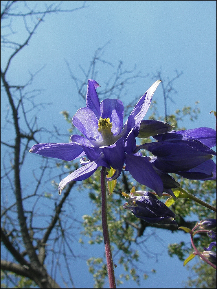 Blaue Blume vor blauem Himmel