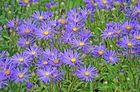 Blaue Blumen im Spätsommer