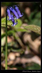 Blaue Blumen in Baal