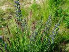 Blaue Blumen und Gräser haben auch etwas besonderes !
