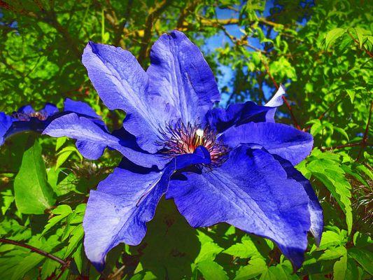 *** Blaue Clematis ***