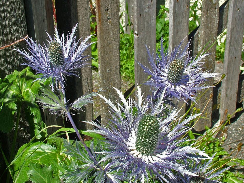 blaue distel foto bild pflanzen pilze flechten bl ten kleinpflanzen gartenpflanzen. Black Bedroom Furniture Sets. Home Design Ideas