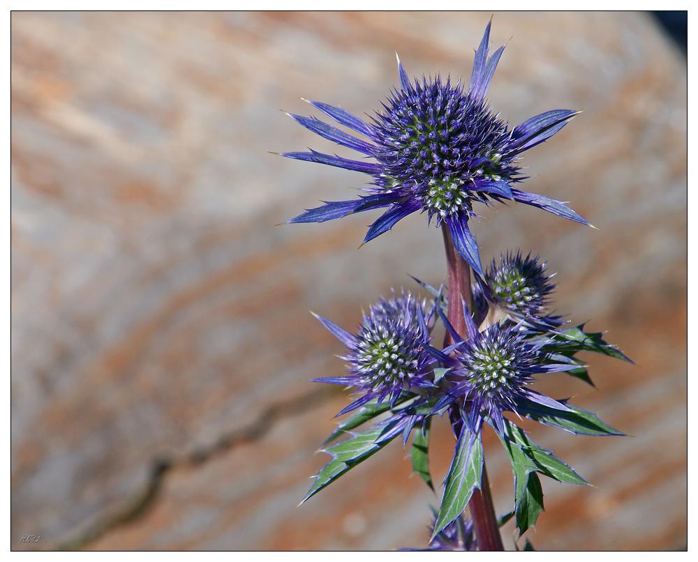 blaue distel foto bild pflanzen pilze flechten bl ten kleinpflanzen disteln und. Black Bedroom Furniture Sets. Home Design Ideas