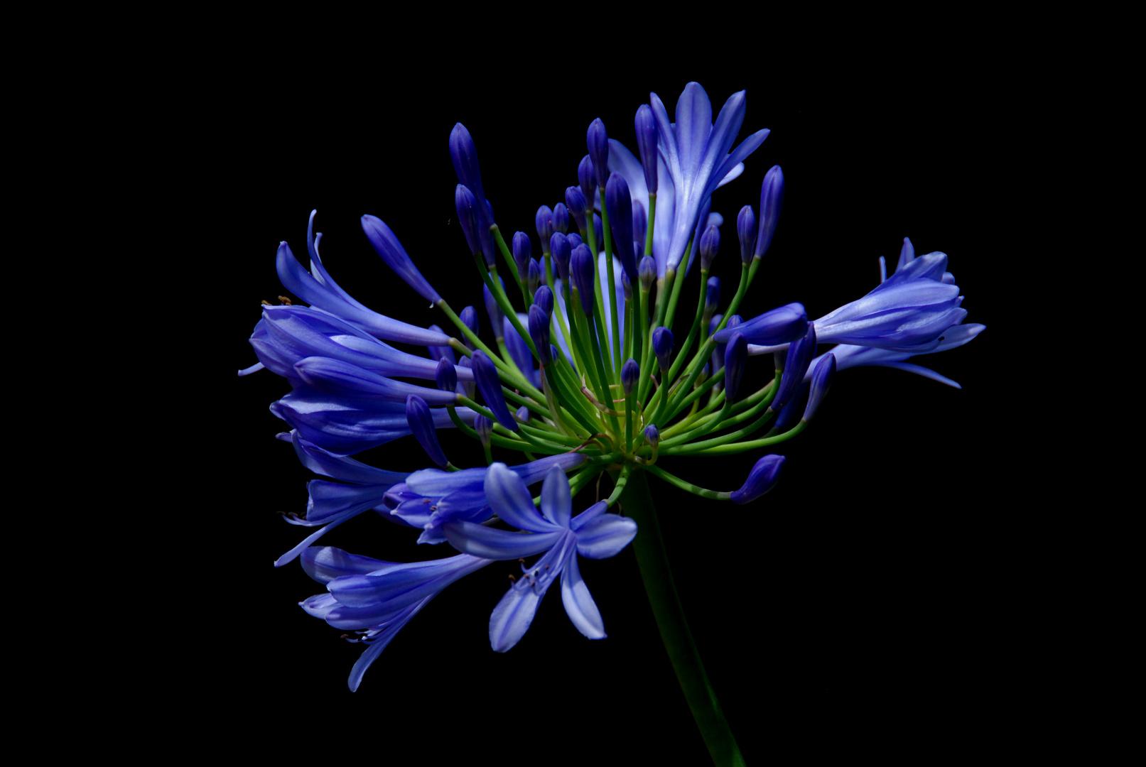 Blaue Erscheinung