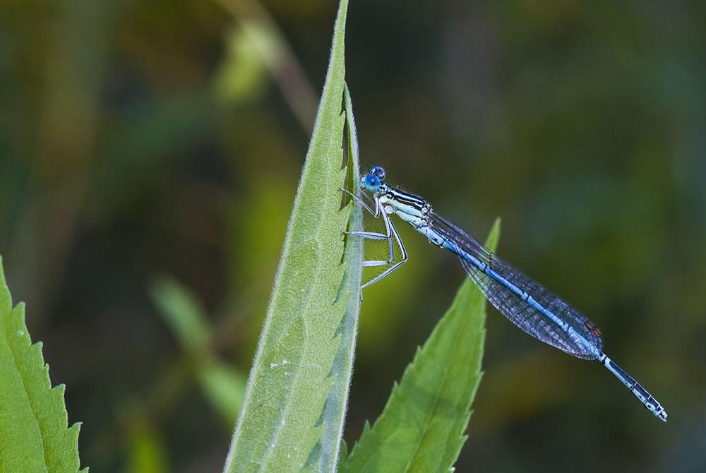 Blaue Federlibelle2