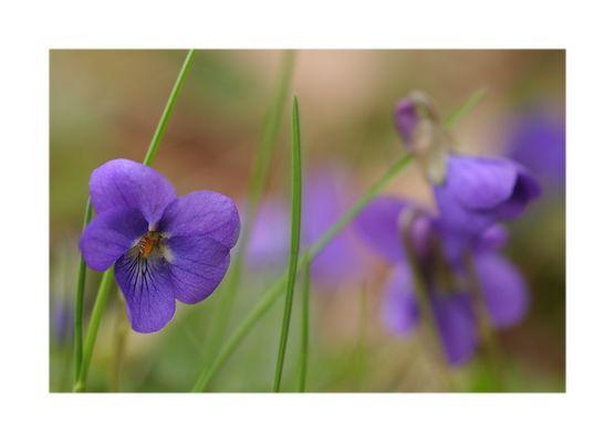 Blaue Frühlingsaugen