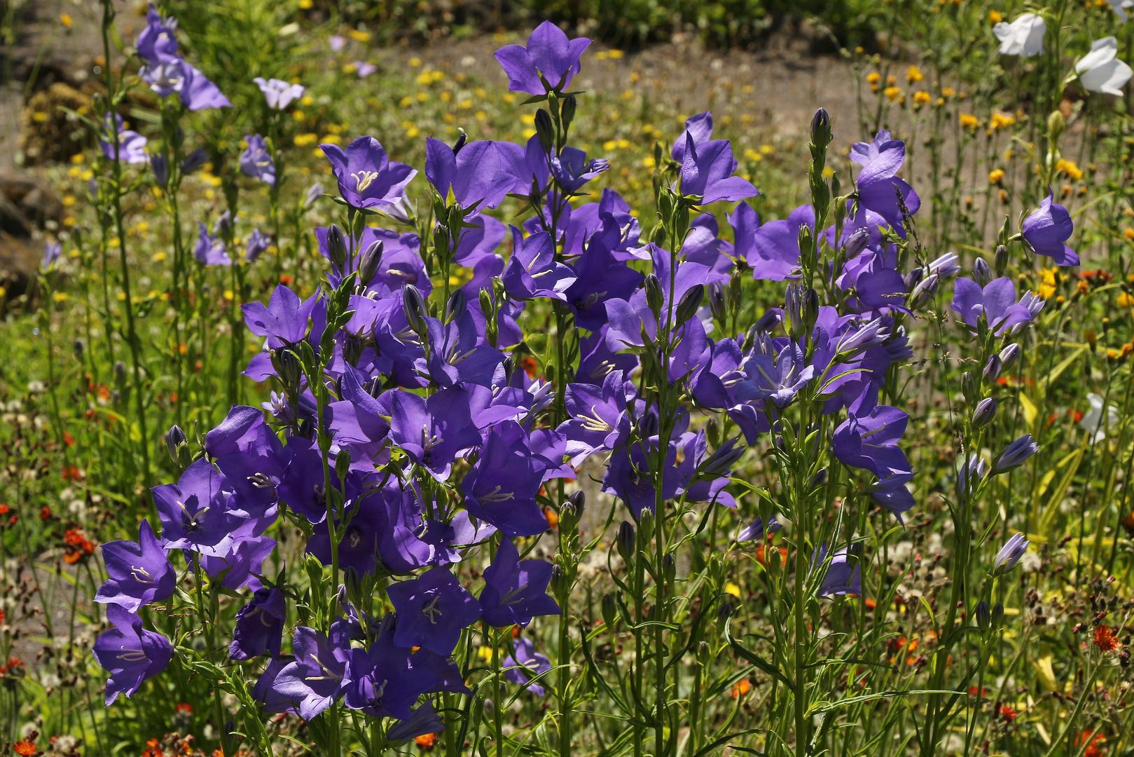blaue glockenblumen 2017 06 19 eos 100d 1767 ji foto bild blau glockenblume ulrichstein. Black Bedroom Furniture Sets. Home Design Ideas