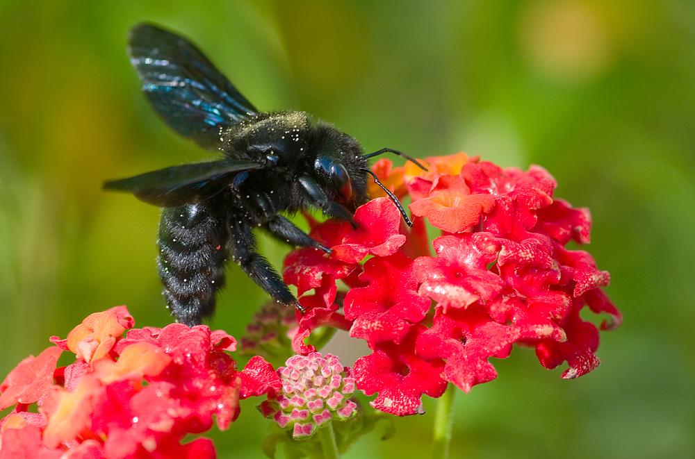 Blaue Holzbiene auf Lantanablüte