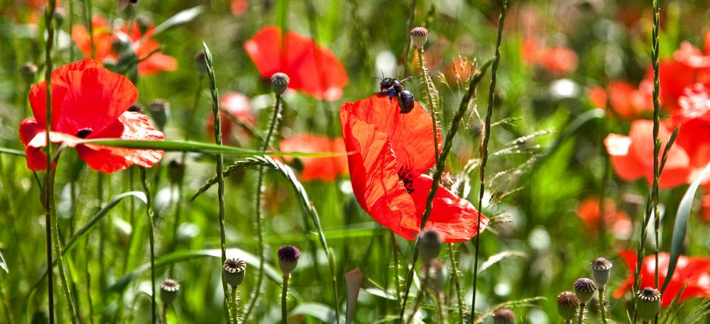 Blaue Holzbiene inmitten von blühendem Mohn!