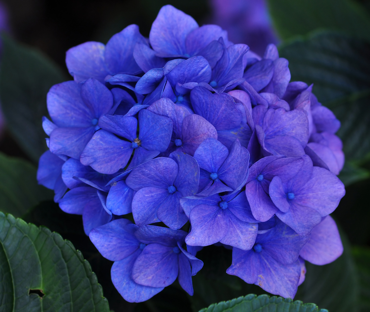 blaue hortensie foto bild pflanzen pilze flechten bl ten kleinpflanzen. Black Bedroom Furniture Sets. Home Design Ideas