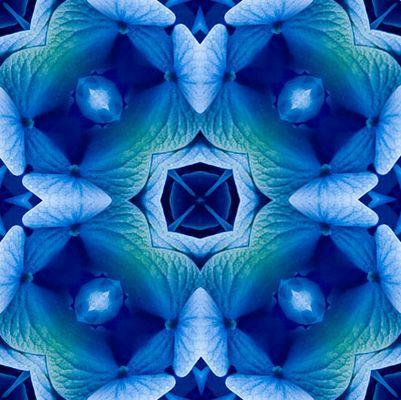 blaue Hortensie,