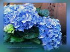 Blaue Hortensien ...
