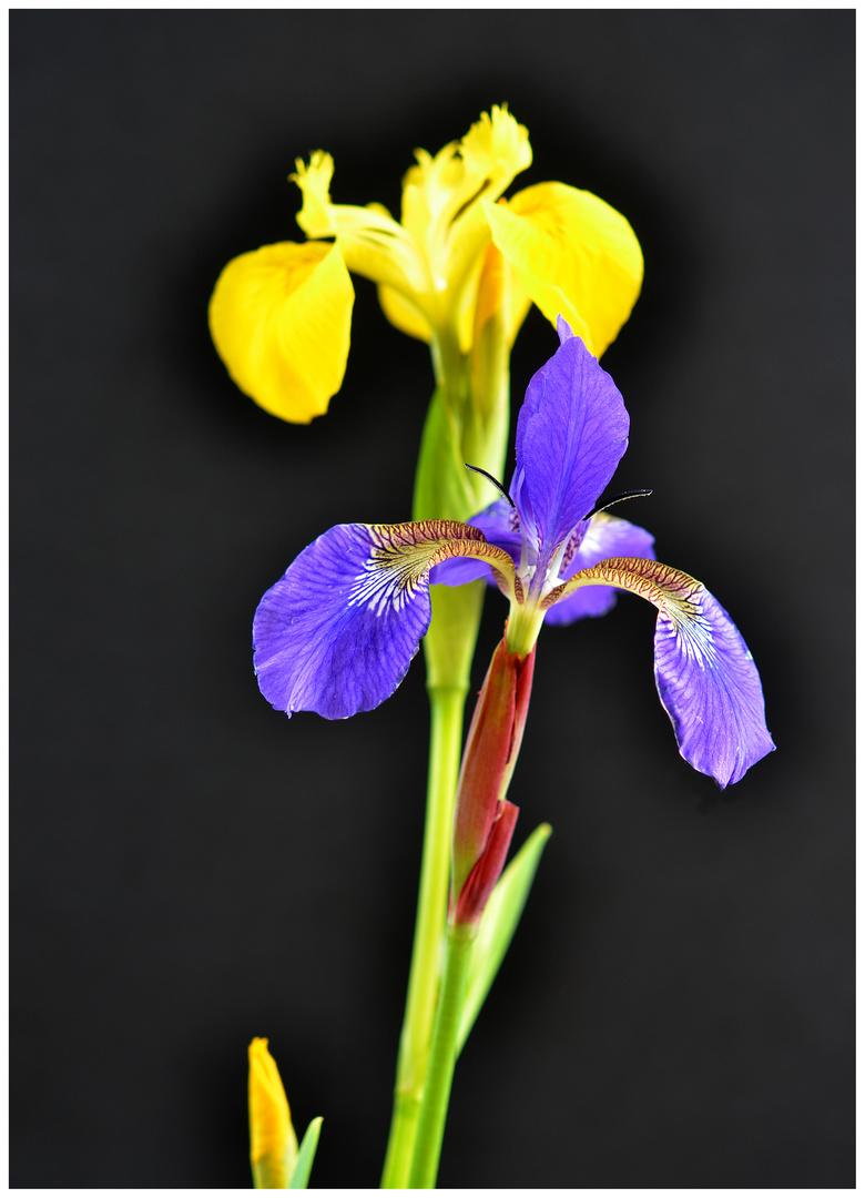 Blaue Iris lehnt sich an