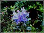 Blaue japanische  Azalee