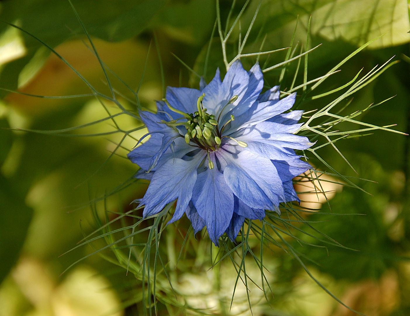 blaue jungfer im gr nen foto bild pflanzen pilze flechten bl ten kleinpflanzen. Black Bedroom Furniture Sets. Home Design Ideas