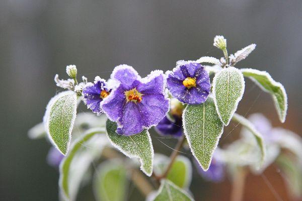 blaue Kartoffelblume im Frost