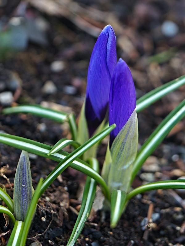 blaue Krokusblüte