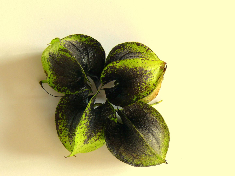 Blaue Lampionblume oder Giftbeere