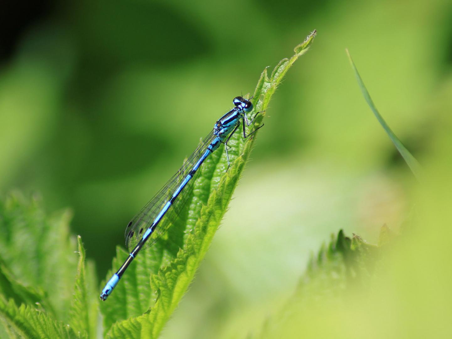 blaue Libelle beim Sonnenbad