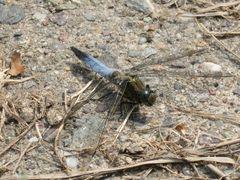 """blaue Libelle, ein """"Großer Blaupfeil"""""""