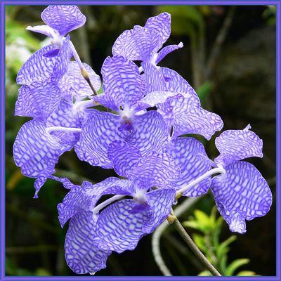 blaue Orchidee 2