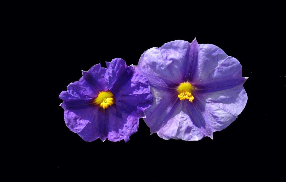 Blaue Pracht kleiner Blüten