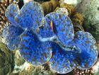 Blaue Riesenmuschel mit Demoiselle